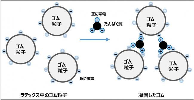ラテックスがタンパク質によって凝固するモデル図