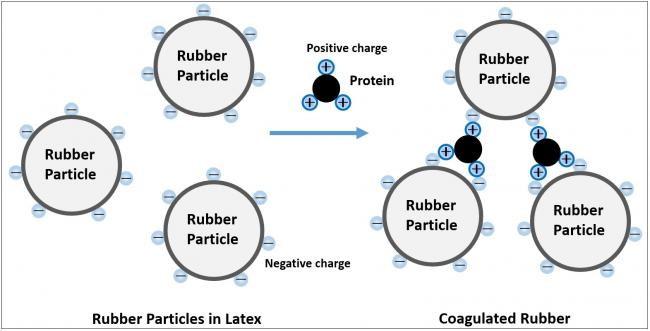 Coagulation Model of Rubber Particles in Latex by Protein